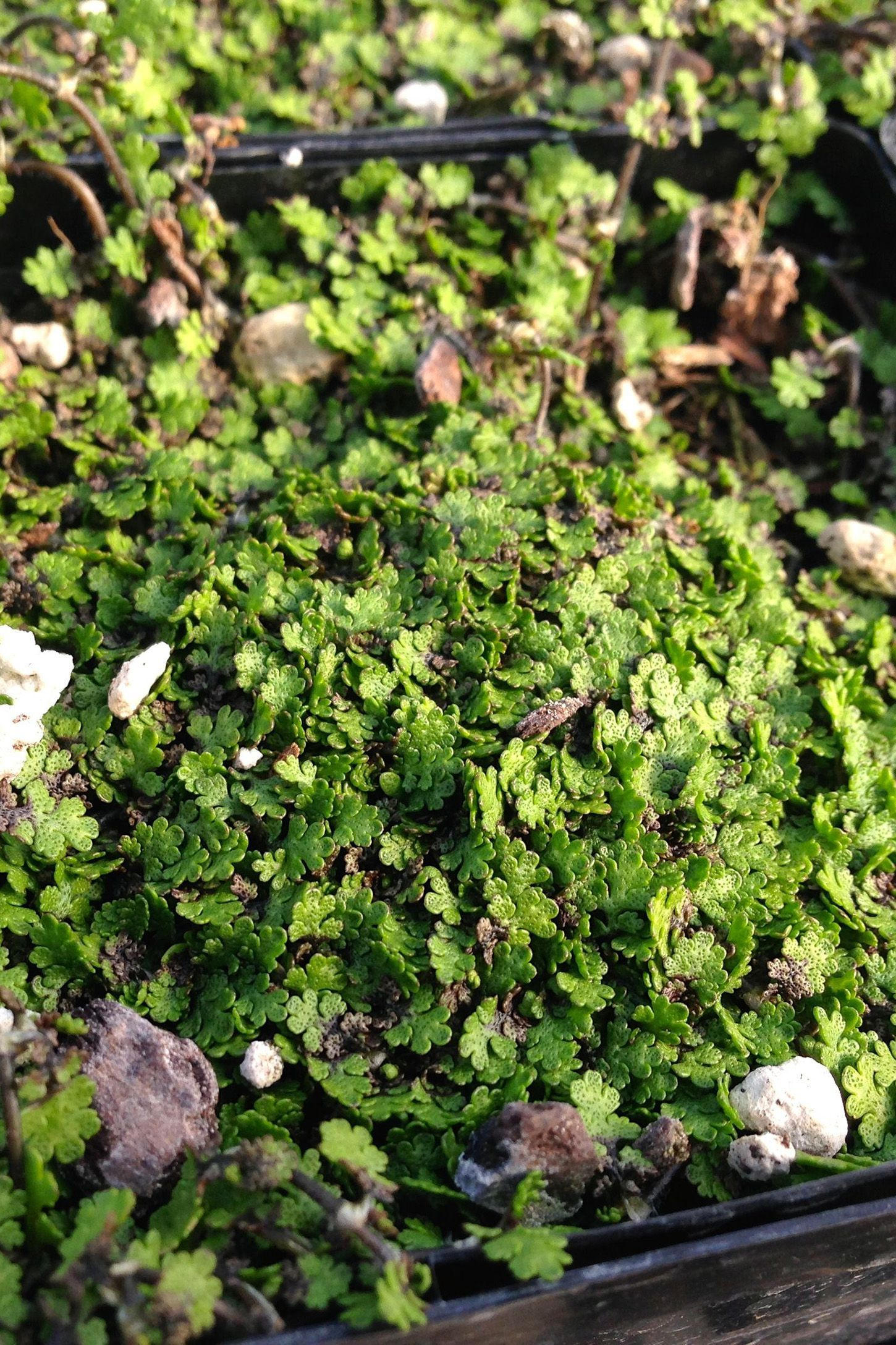 Ground Cover Plants To Try Out In Your Yard This Season Ground Cover Plants Ground Cover Ground Cover Flowers