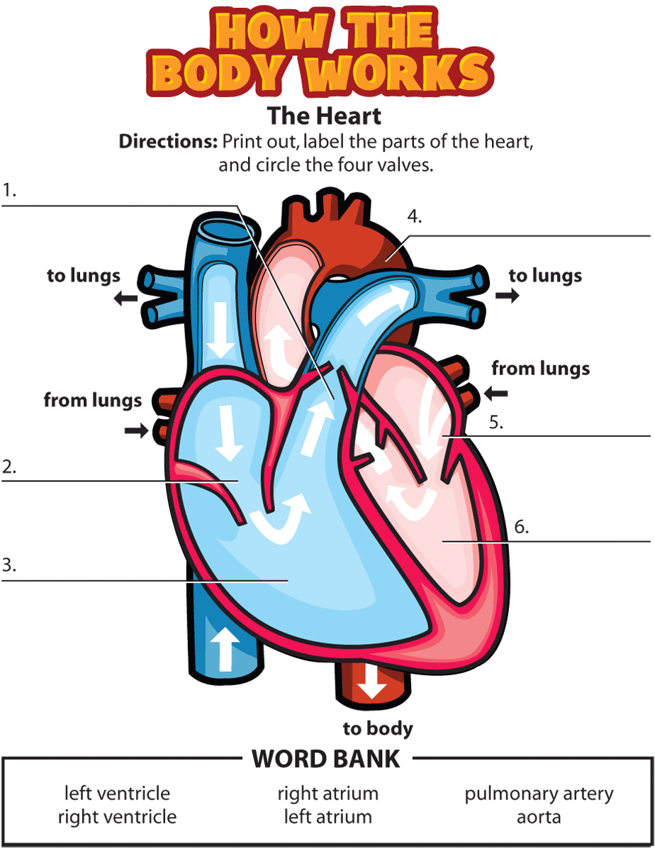 Activity: The Heart   Circulatory system for kids [ 1200 x 924 Pixel ]