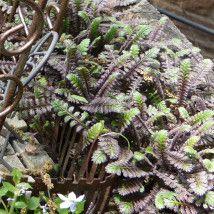 fairy garden ferns (2)