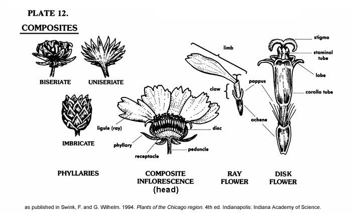 dissection of sunflower