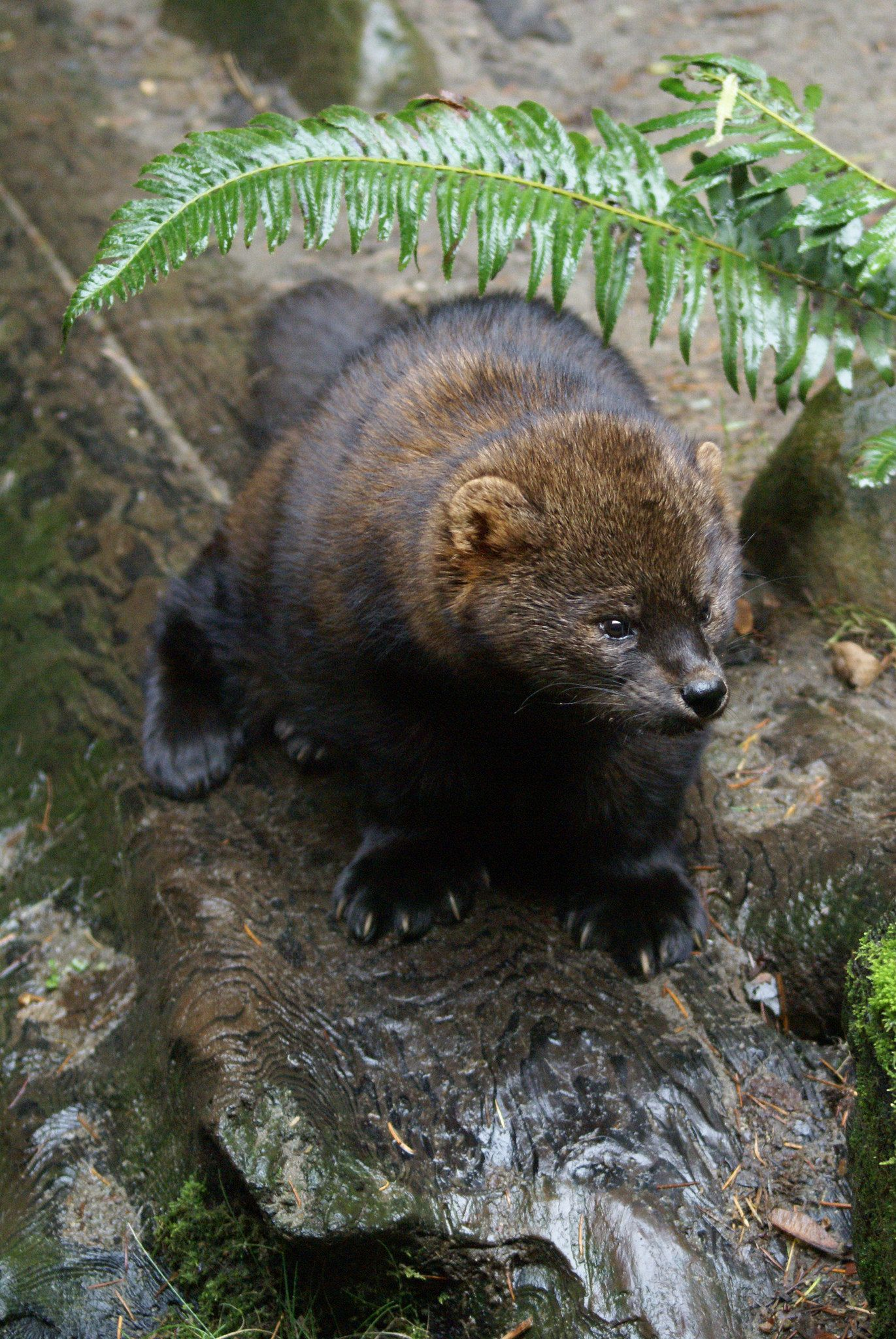 Fisher American marten, Fisher cat and Small animals
