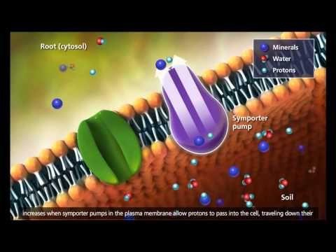 Plant Transport Xylem And Phloem Transpiration 3d Animation Plant Science Teaching Biology Biology Lessons