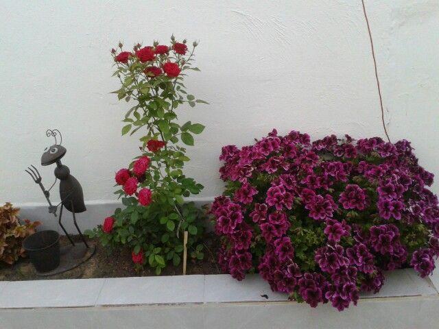 Rosal Enano Geranio Chino Con Imagenes Geranios Jardines