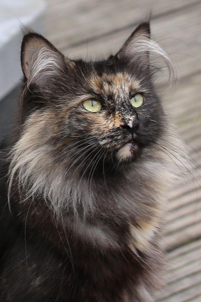 Black Tortie Smoke White Black Smoke Cat Cats Black Smoke