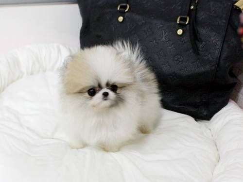 Free Pet Classifieds Ads Buy And Sell For Free Puppies And Kittens For Sale And Adoptio Pomeranian Puppy For Sale White Pomeranian Puppies Pomeranian Puppy