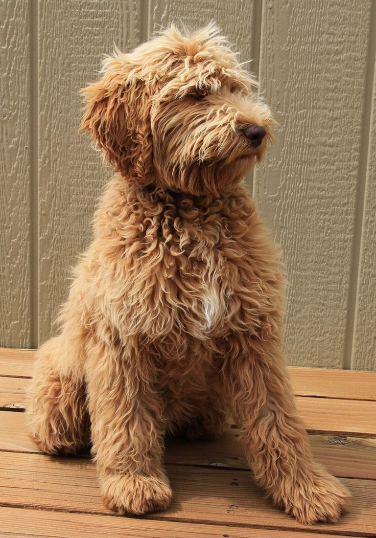 Listed As A Labradoodle But Looks So Much Like A Goldendoodle Either Way He Is Perfect Cute Animals Cute Dogs Labradoodle