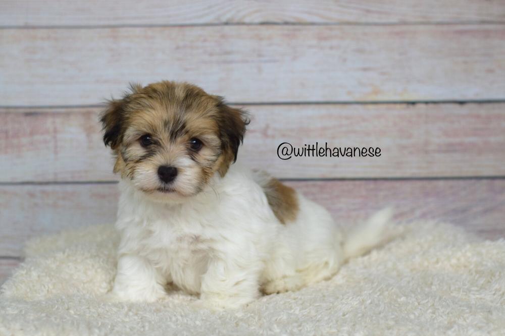 Havanese Puppies For Sale Wittle Havanese In 2020 Havanese Puppies For Sale Havanese Puppies Puppies