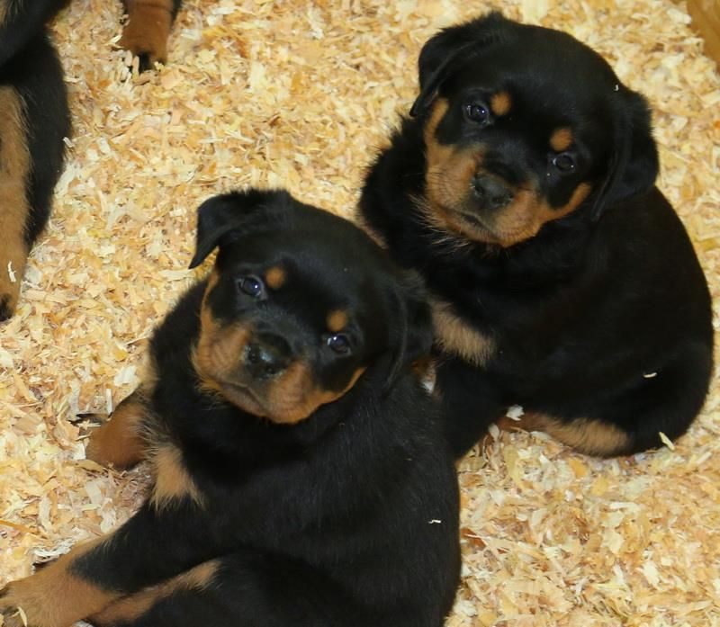 King Rottweilers Produces Healthy Rottweiler Puppies For Sale Our