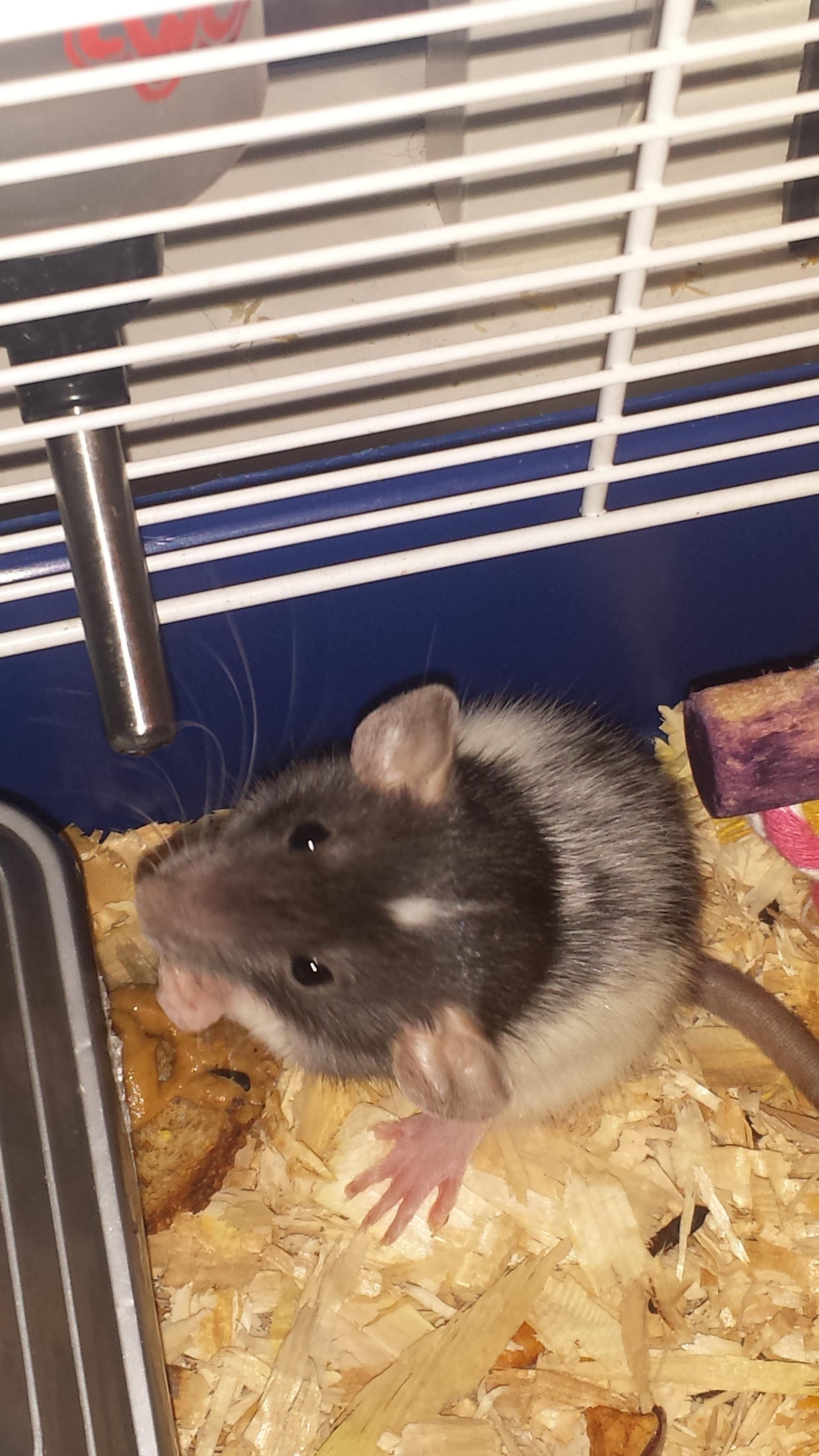 Rip Ruby Tv Won T Be The Same Without You Watching From Under My Shirt Collar Aww Cute Rat Cuterats Ratsofpintere Cute Rats Small Pets Animal Companions