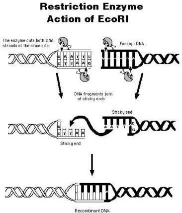 tj restriction enzymes also known as restriction endonucleases
