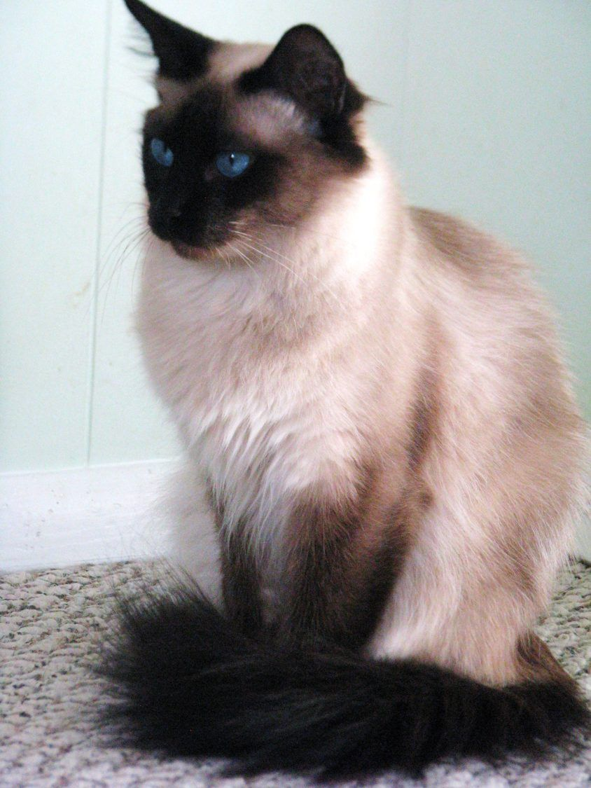 Jamila Seal Point Balinese Balinese Cat Siamese Cats Pretty Cats
