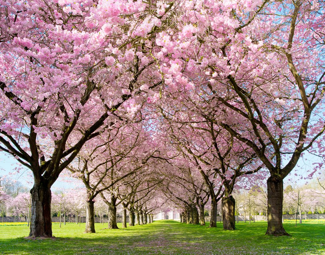 Spring Is Coming Blossom Trees Cherry Blossom Tree Tree Wallpaper Mural