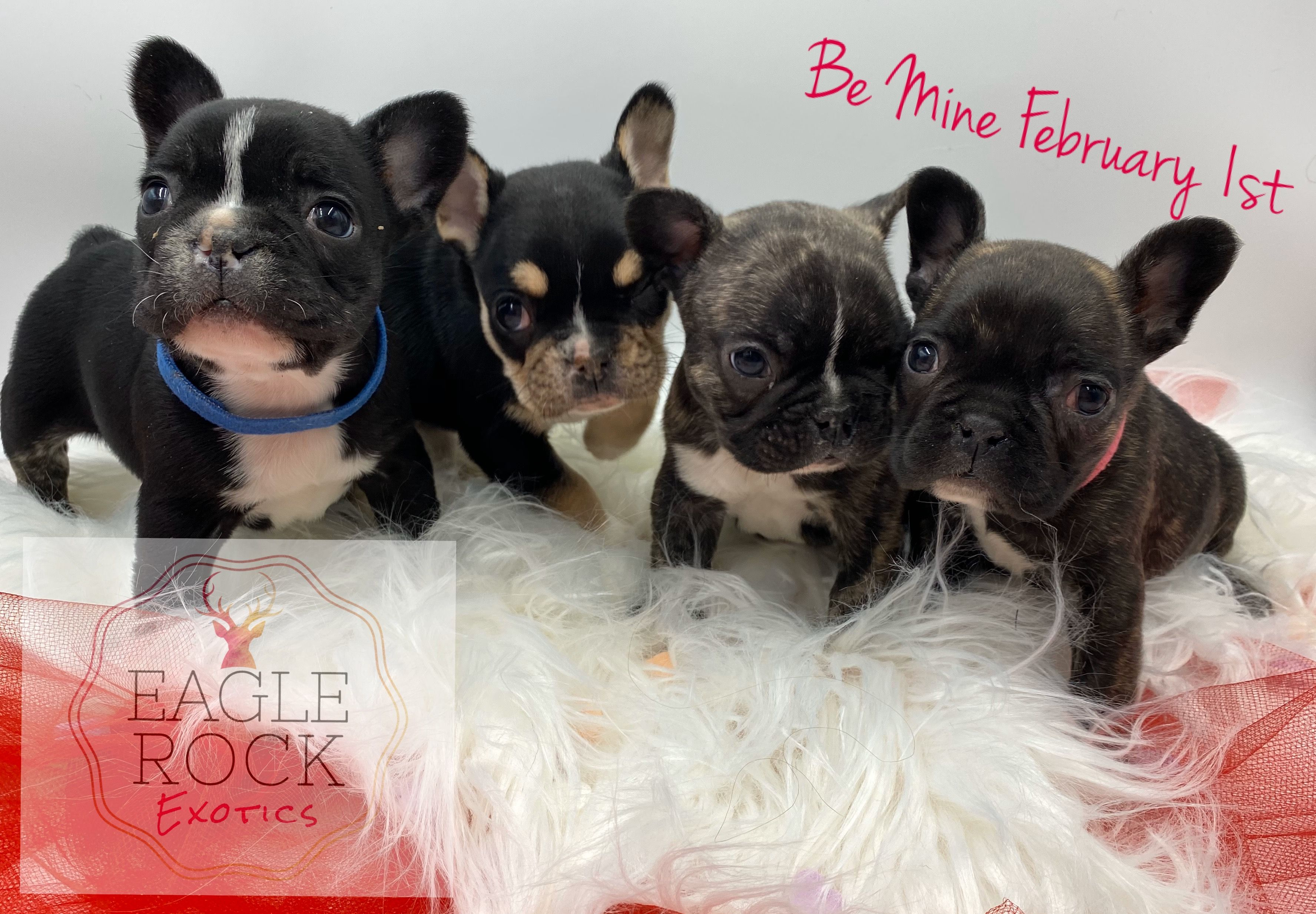 Akc Eagle Rock Exotics Cartier French Bulldog Puppies Puppies