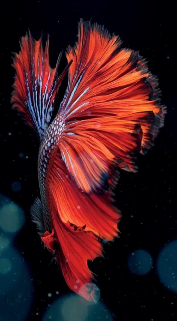 Video Pin Oleh Alvitto Alvitto Di Fish And More Wallpaper Hidup Iphone Wallpaper Merah Wallpaper Gelap