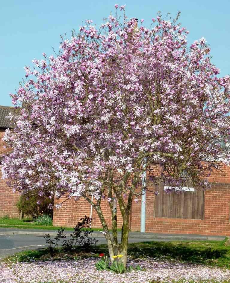 Went Out Spotting Magnolia Trees In The Bright Uk Sunshine Description From Fablesandflora Wordpress Com Pink Flowering Trees Specimen Trees Flowering Trees