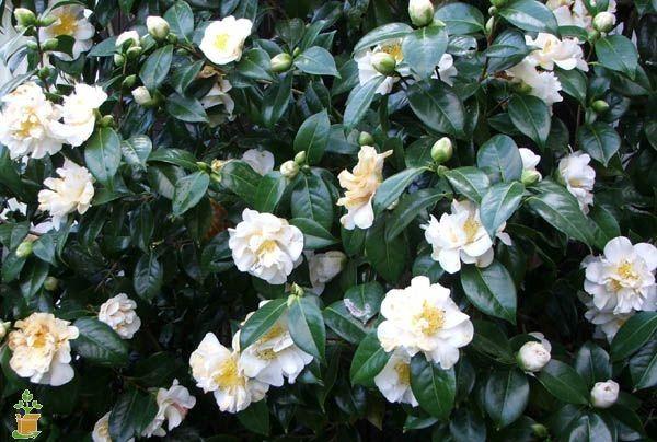 Camellia Sasanqua Setsugekka White Camellia Camellia Tree Camelia Tree
