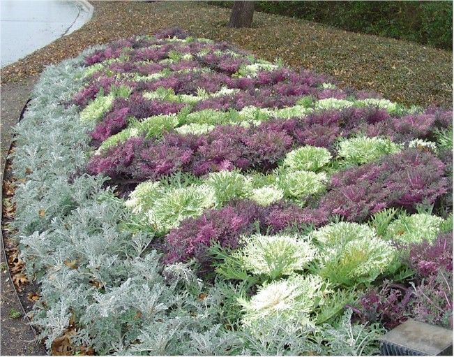 Kale Red And White Peacock With Dusty Miller Precision Landscape Backyard Flowers Beds Landscaping With Rocks Annual Flowers For Shade