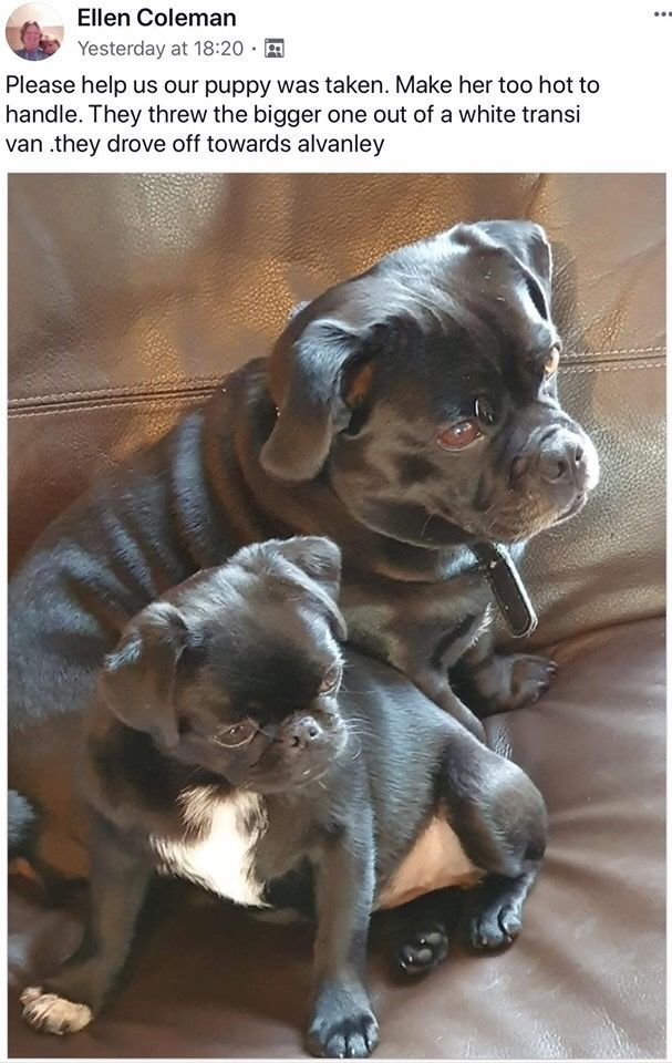 Pug Puppy Stolen Please Share We Just Want Her Home Puppies