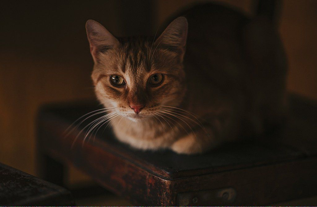 Cats Near Me For Sale Docatsblink Code 678682242 Cats Cat Years Cat Vs Dog