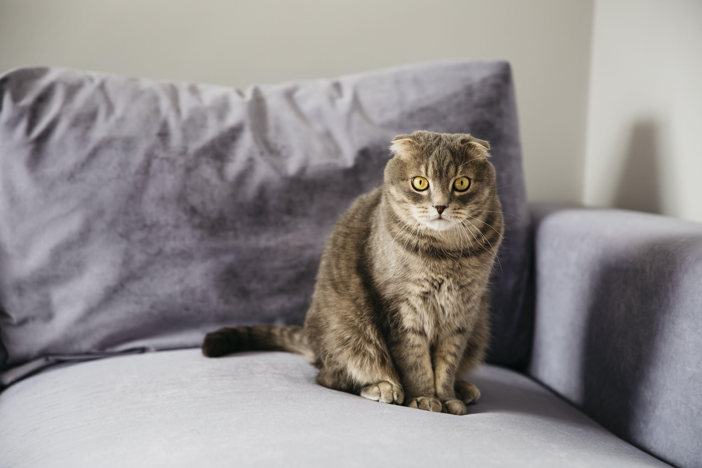 แมวน าร ก Scottish Fold แมวน าร ก แมวน อย แมวตลก