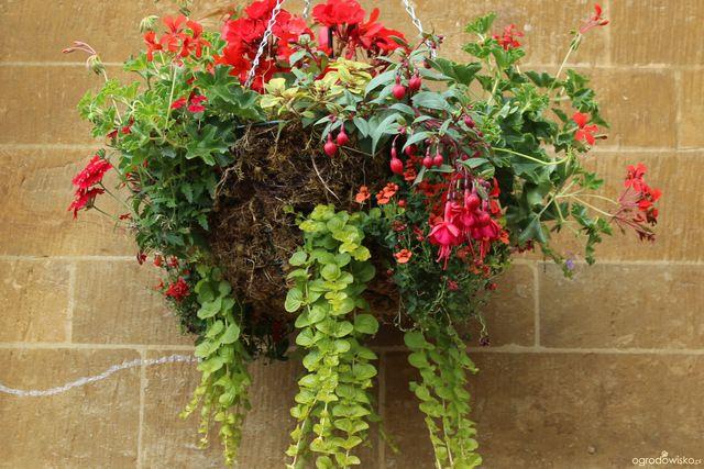Galeria Zdjec Kwiaty W Wiszacych Koszach Sadzenie I Pielegnacja Ogrodowisko Flowers Plants Love Lies Bleeding