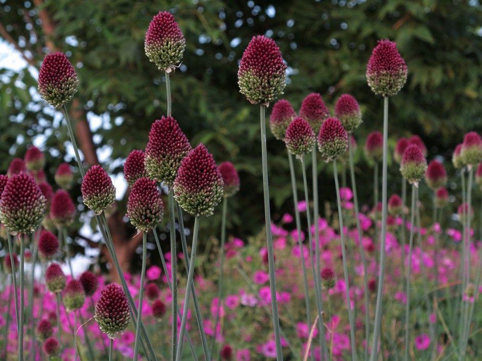 Allium Sphaerocephalon Auf Augenhohe Allium Sphaerocephalon