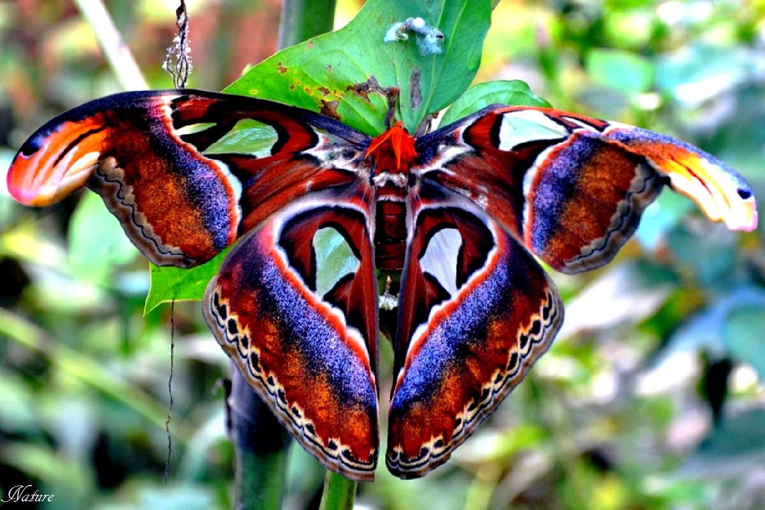 The Atlas Moth Attacus Atlas Dragonfly Insect Atlas Moth Butterfly