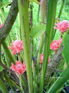 Torch Ginger Plants Ginger Plant Plants Tropical Garden