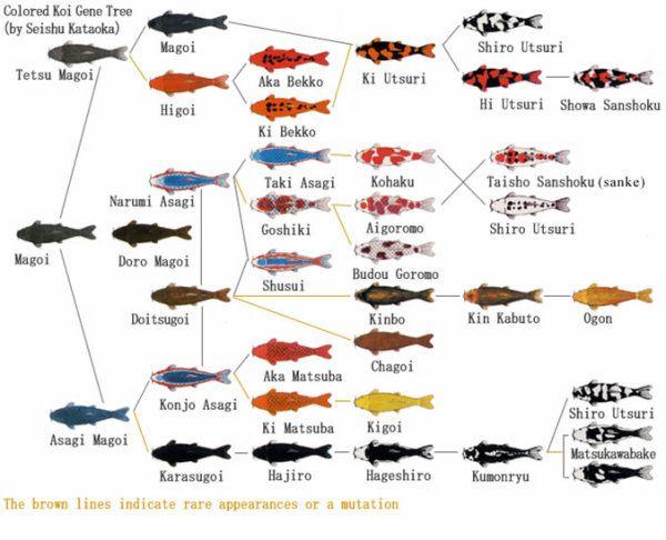 Koi Breeding Koi Fish Colors Koi Koi Carp