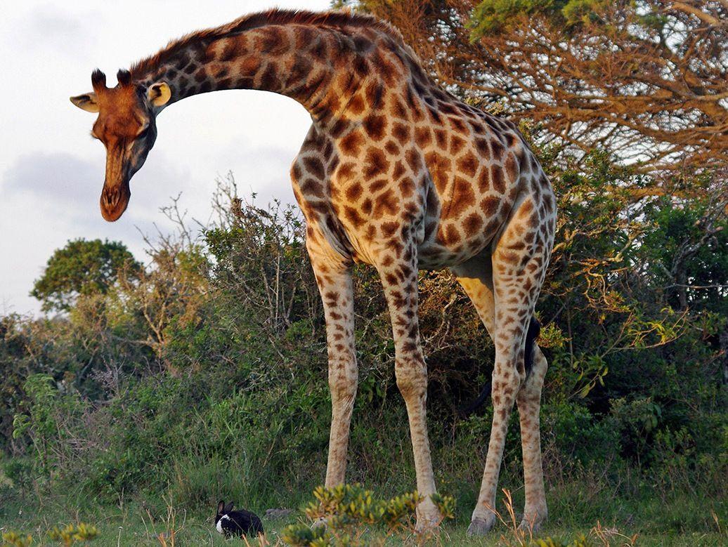 Новым годом, картинки жирафов настоящих