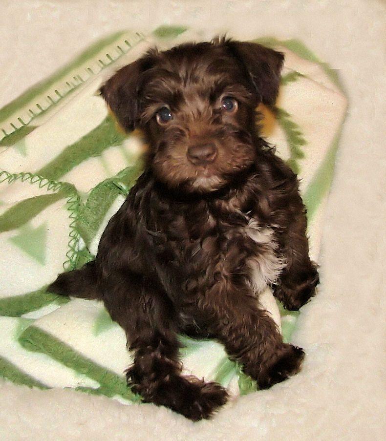 Destiny Blooms Akc Miniature Schnauzers In Chocolate Liver Schnauzer Puppy Miniature Schnauzer Puppies Puppies