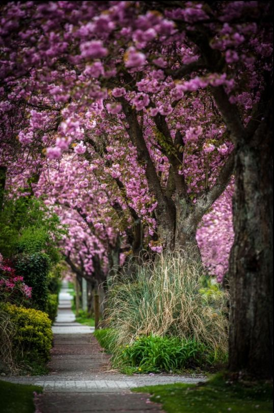 Cherry Blossoms Lining The Street In Vancouver Bc Canada By Lyle Hansen Landscape Photography Beautiful Nature Scenery