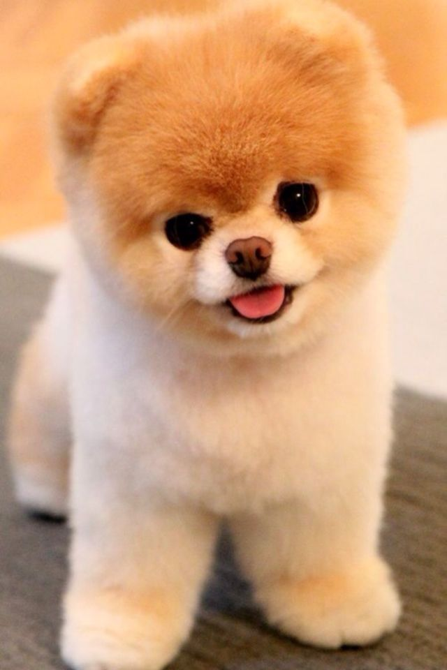 Fluffy Dog Puppy Want One Sooooo Bad Cute Teacup Puppies