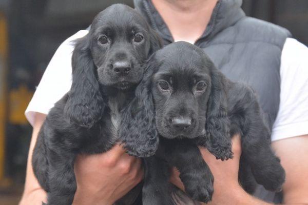 Cocker Spaniel Puppies In Lincoln Lincolnshire Black Cocker