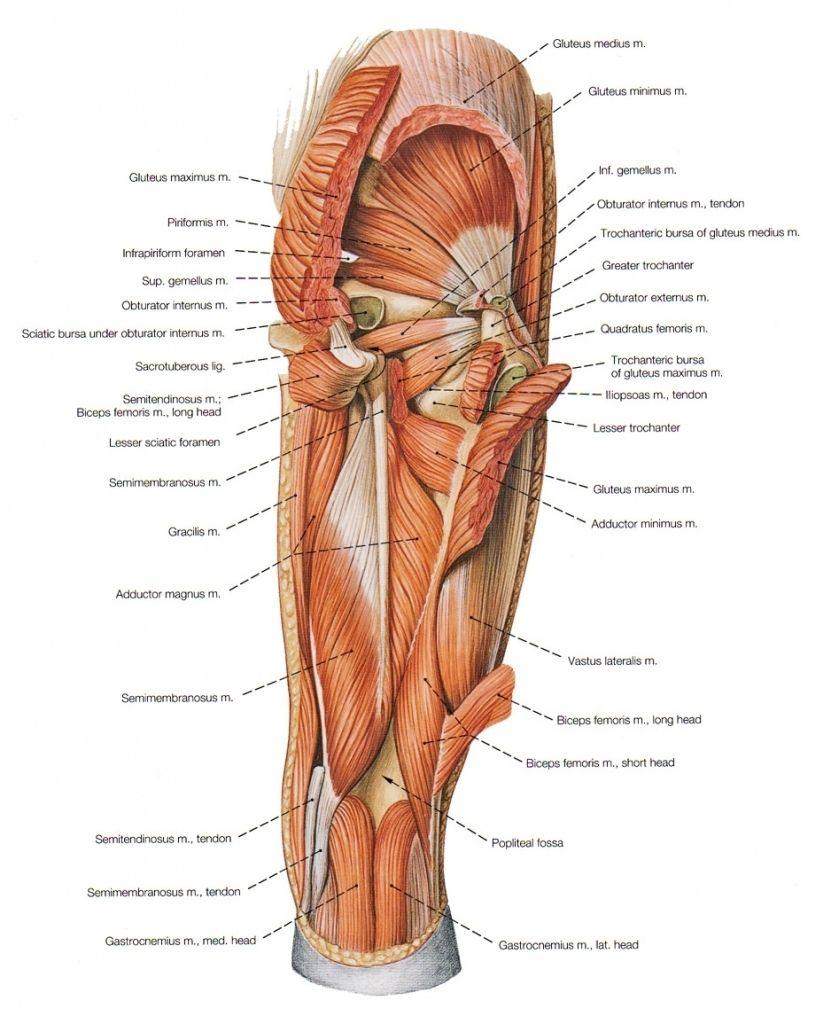 Groin Muscles Diagram Human Anatomy Organs Anatomy Muscle