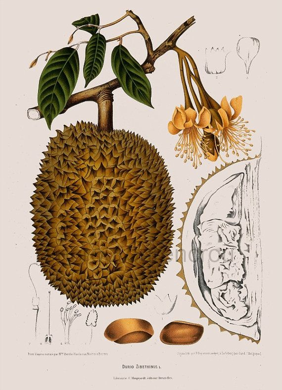antique french botanical print durian tropical fruit illustration
