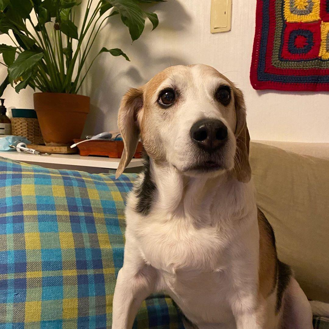 Beagle puppy Beagle dog Beagle facts Beagle tricolor