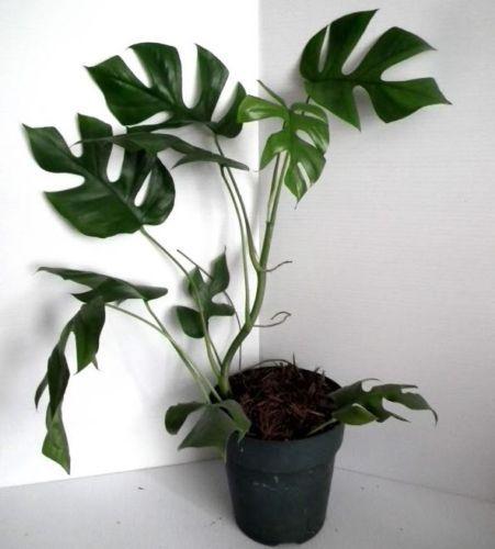fb5ffd934b028c7cf51c208ecd7b0e89 Monstera Dollhouse Plant on phalaenopsis plant, pineapple plant, aspidistra plant, red and green leaf house plant, orchid plant, momordica plant, bird of paradise plant, xanadu plant, dieffenbachia plant, prayer plant, mammillaria plant, anthurium plant, aralia plant, banana plant, alocasia plant, bucephalandra plant, yucca plant, liana plant, cheese plant, musa plant,