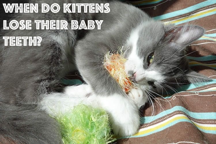 When Do Kittens Lose Their Baby Teeth Baby Kittens Kittens Feline Health