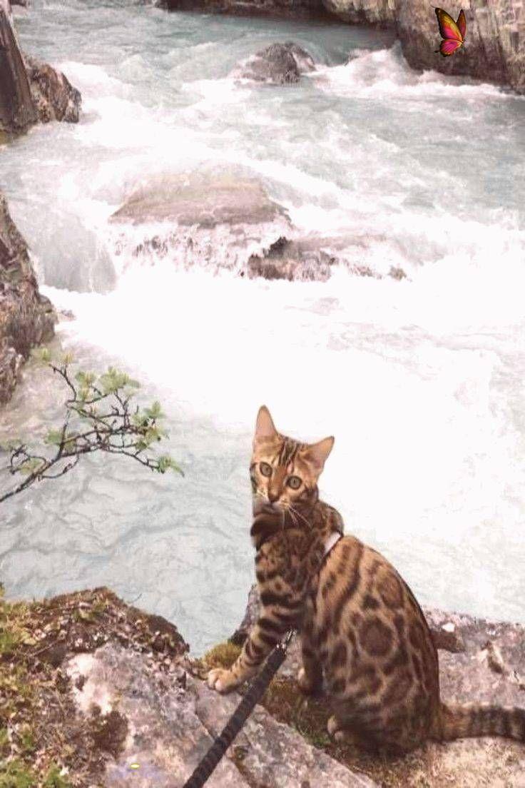 Épinglé sur savannah cats full