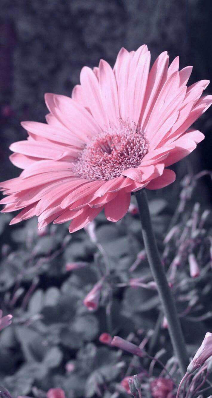 Pin By Dark Wings On Flowers Bellissimi Fiori Sfondi Per Telefono