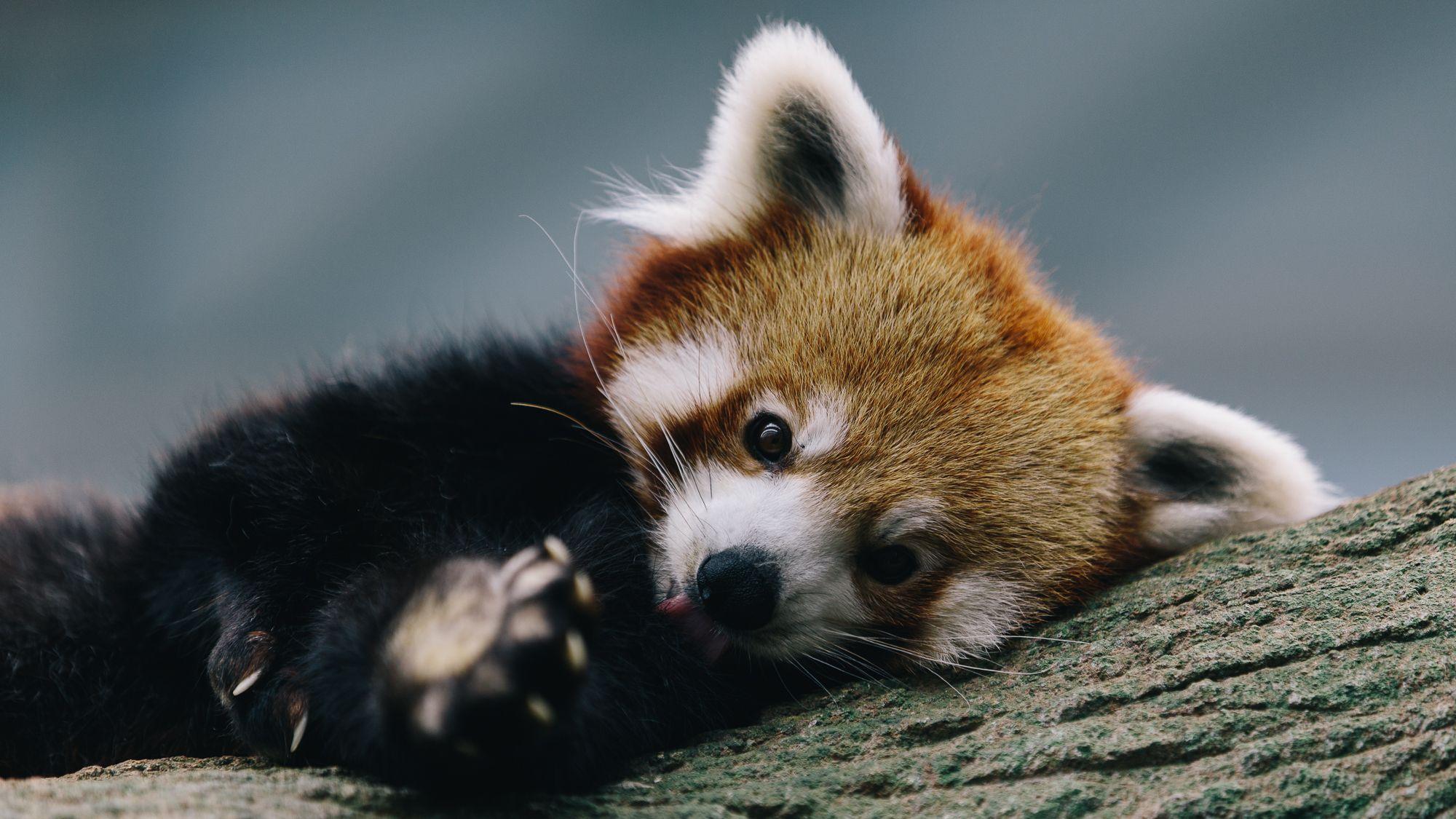 animaux panda roux panda mignon fond d 39 cran panda roux pinterest panda mignon pandas. Black Bedroom Furniture Sets. Home Design Ideas