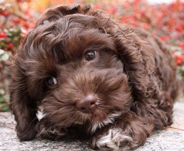 Pin By Puppy Junky On Cute Dogs Puppies Cockapoo Puppies Cockapoo Dog Cockapoo