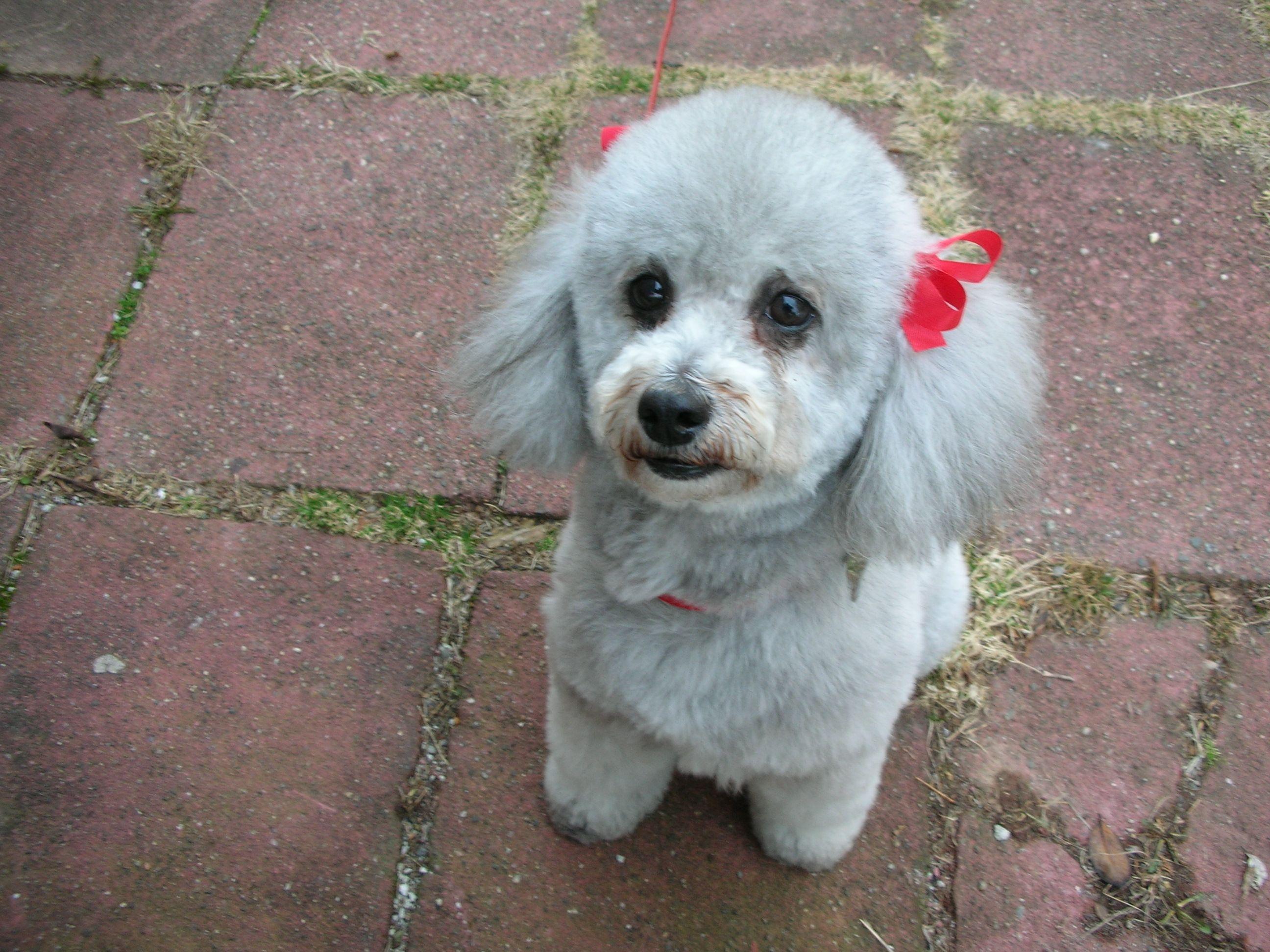 Poodle Grooming Styles Poodle Grooming Beloved Dog Poodle