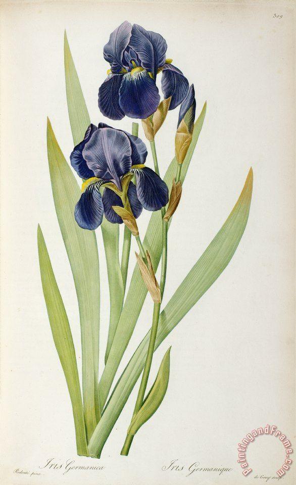 Pierre Joseph Redoute Iris Germanica Painting Iris Germanica Print For Sale Iris Art Flower Prints Art Botanical Drawings