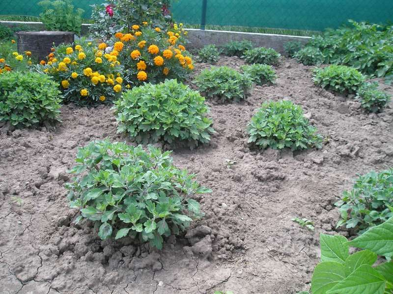 Každý rok,v novemri si nechám z každej farby 2 črepníky - mám 4 farby, žlté, bordové v strede je žlté očko, biele -strapaté, a smotanové, tie prezimujem v pivnici, kde máme zemiaky, 2x cez zimu polejem, na jar rozdelím každý črepnik na malé kúsky, vysadím voľne do záhrady asi 60x60cm medzi sebou,13.júna na ANTONA, ostrihám úplne až k zemi, to sa začne všetko rozvetvovať ako je na obrázku to je foto teraz po mesiaci, ked je dobré počasie 2 týždne pred novembrom dám do črepníkov, teraz ich mám…