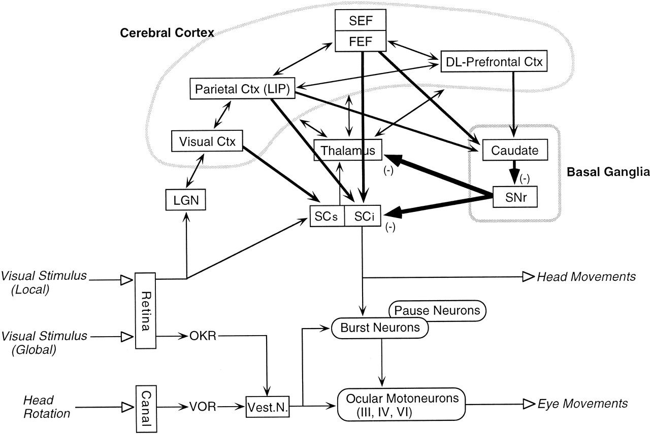 Role Of The Basal Ganglia In The Control Of Purposive