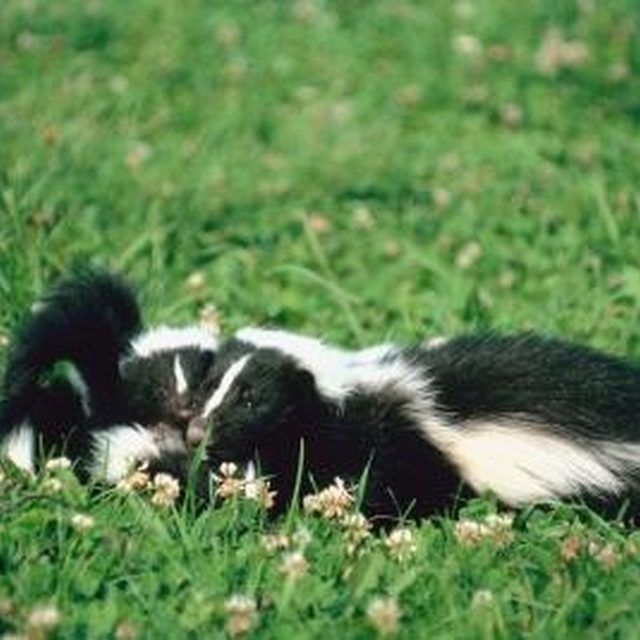 How To Get Rid Of Skunks (With images) | Getting rid of ...