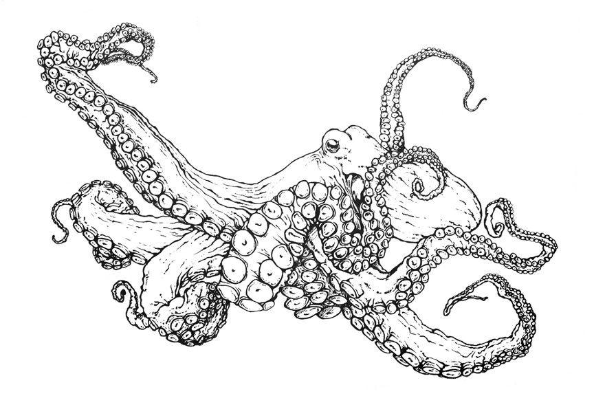 Realistic Octopus Drawing Octopus Coloring Page Novocom Top