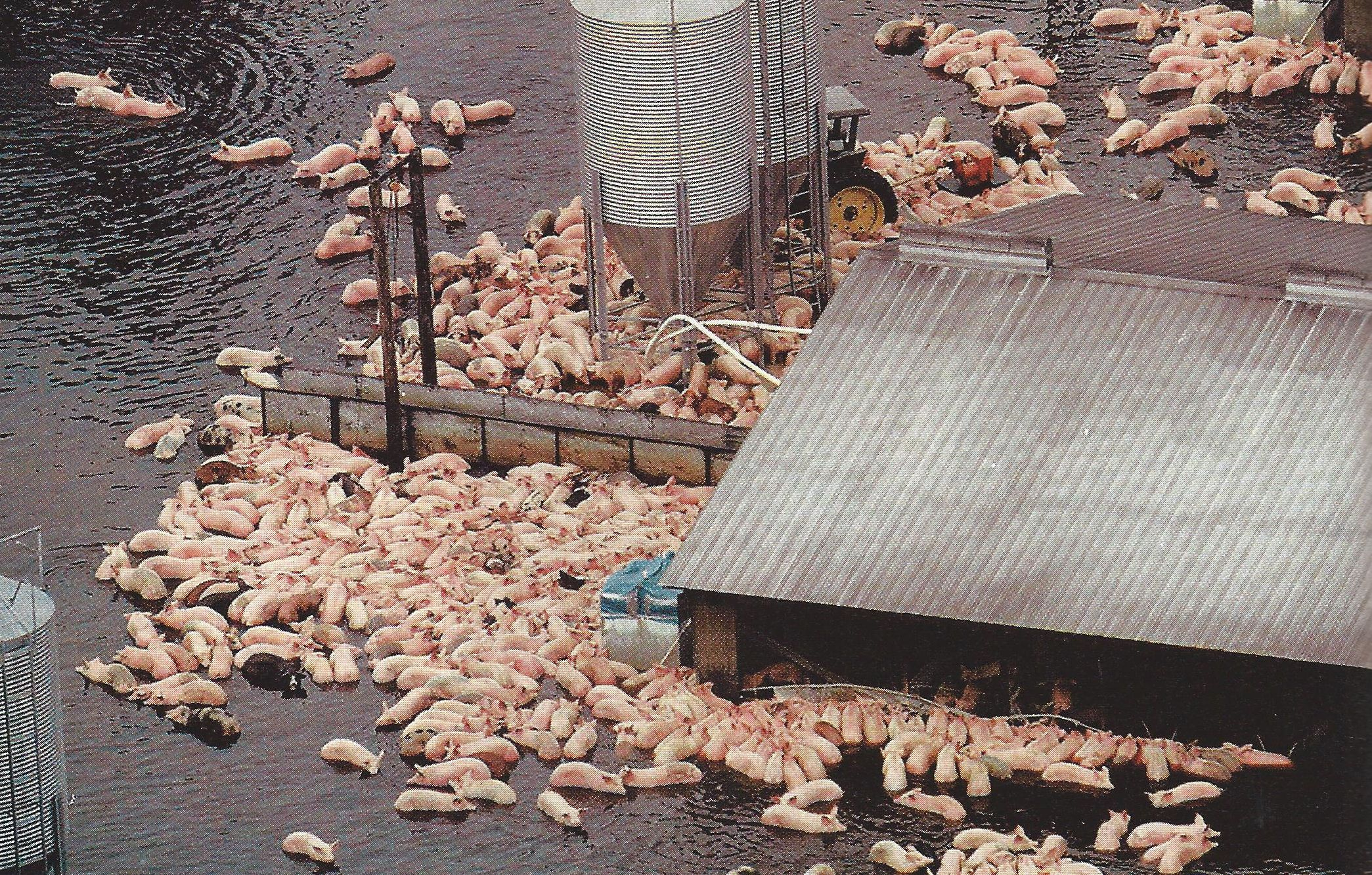 Pigs Struggle To Stay Alive On One Of The Giant North Carolina Farms Where Flood Waters From Hurricane Floyd Are Sluggish To Re Hurricane Floyd Flood Hurricane